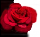 Yin Yang Rose