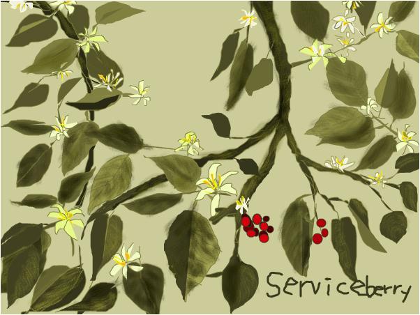 Downey Serviceberry